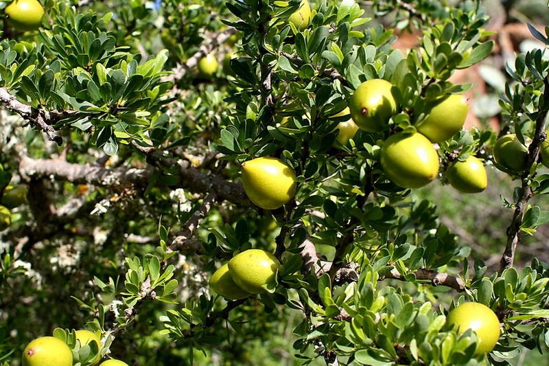 Argania spinosa frutti Argan