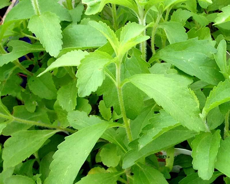 stevia dolcificante naturale degli indigeni guaran