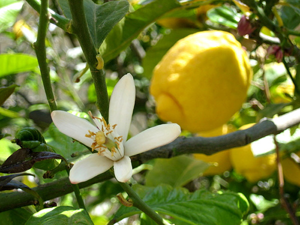 Fiore Limone