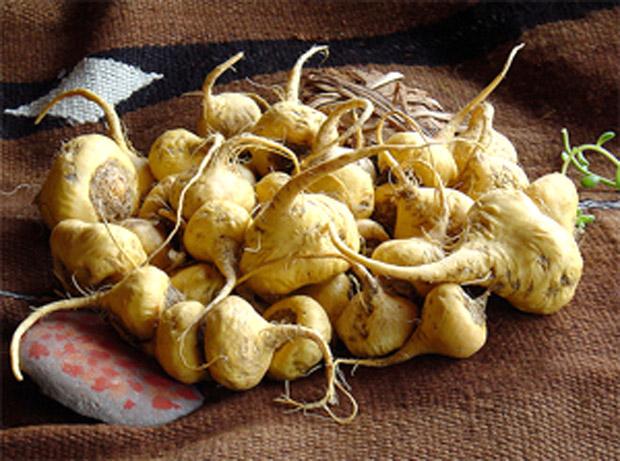 La Maca Peruviana – L'oro degli Inca (Lepidium Meyenii Walp)
