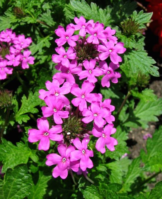 verbena l erba di venere guarigione naturale