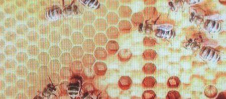 La foto ritrae alcune api nell'alveare.
