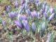 Crocus sativus, ossia fiori di Zafferano - Newslandia